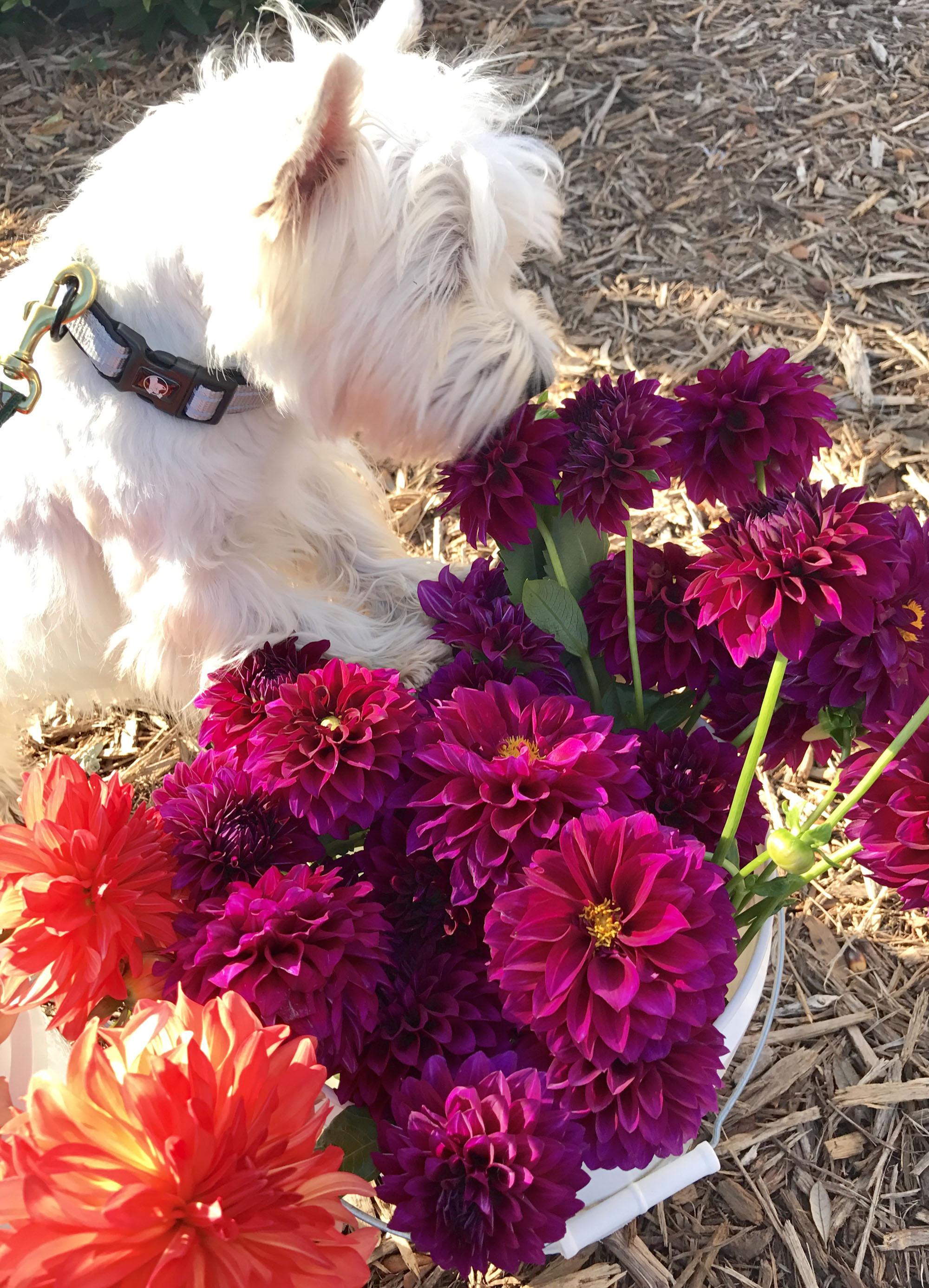 Pup Sniffs Dahlias