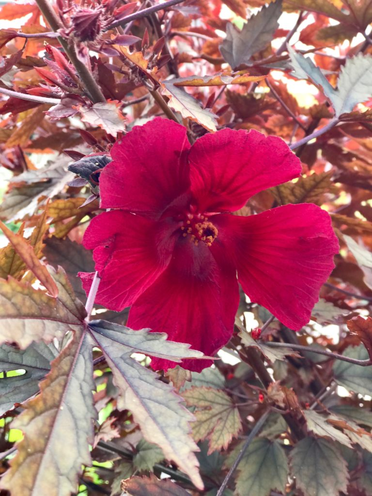 Cranberry Hibiscus A Favorite Fall Foliage And Flower